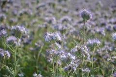 Flores de Phacelia en el campo Fotografía de archivo libre de regalías