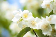 Flores de Philadelphus/jazmín de la falsificación Fotos de archivo
