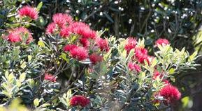 Flores de Pohutukawa Fotos de Stock Royalty Free
