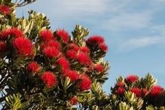 Flores de Pohutukawa contra o céu azul Fotografia de Stock