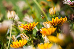 Flores de polinización de la abeja Fotografía de archivo libre de regalías