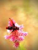 Flores de polinización de la abeja de la miel en un campo de flores hermosas Foto de archivo libre de regalías