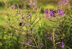 Flores de polinización de la abeja en un prado Fotos de archivo libres de regalías