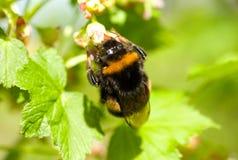 Flores de polinización del abejorro Fotografía de archivo libre de regalías