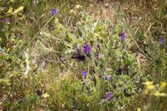 Flores de polinización del abejorro negro Foto de archivo libre de regalías