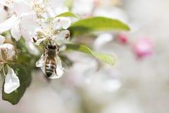 Flores de polinización del crabapple de la abeja, visión superior Imágenes de archivo libres de regalías