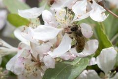 Flores de polinización del crabapple de la abeja, visión superior Fotografía de archivo libre de regalías