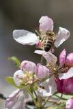 Flores de polinización del crabapple de la abeja, visión superior Fotos de archivo