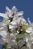 Flores de polinización del crabapple de la abeja, visión superior Fotografía de archivo