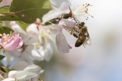 Flores de polinización del crabapple de la abeja, vista lateral Fotografía de archivo