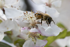 Flores de polinización del crabapple de la abeja, vista lateral Imagen de archivo