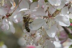 Flores de polinización del crabapple de la abeja, vista lateral Fotos de archivo