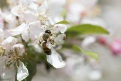 Flores de polinización del crabapple de la abeja, vista lateral Imagen de archivo libre de regalías