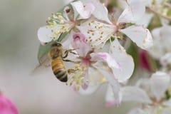 Flores de polinización del crabapple de la abeja, vista lateral Fotos de archivo libres de regalías