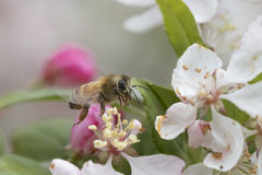 Flores de polinización del crabapple de la abeja, vista lateral Imágenes de archivo libres de regalías
