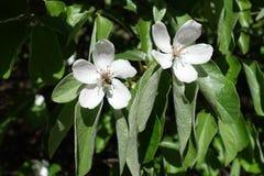 Flores de polinización del membrillo del insecto en primavera Fotografía de archivo