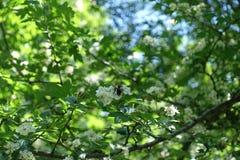 Flores de polinización de la abeja de la miel del espino Fotografía de archivo libre de regalías