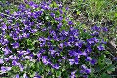 Flores de polinización de la abeja de la miel de perro-violetas Imagen de archivo