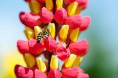 Flores de polinización de la abeja salvaje Imagenes de archivo