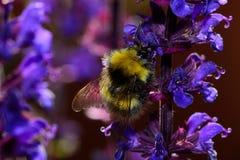 Flores de polinización de la lavanda de la abeja Fotografía de archivo libre de regalías