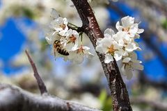 Flores de polinización de un ciruelo de la abeja en primavera Foto de archivo libre de regalías