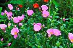 Flores de Portulaca Fotografía de archivo