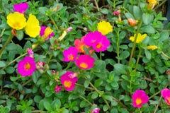 Flores de Portulaca foto de stock royalty free