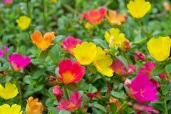 Flores de Portulaca imagens de stock royalty free