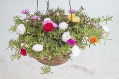 Flores de Portulaca, coloridas en potes colgantes imagenes de archivo
