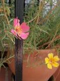 Flores de Portulaca en el pote Fotografía de archivo