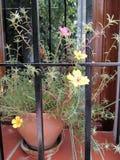 Flores de Portulaca en el pote Foto de archivo libre de regalías