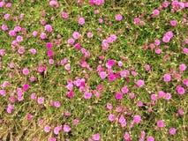 Flores de Portulaca no jardim na manhã Imagens de Stock Royalty Free