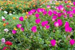 Flores de Portulaca Foto de archivo libre de regalías