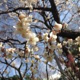 Flores de Pring en Tokio Fotos de archivo