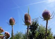Flores de punta del verano del fullonum del Dipsacus del cardo salvaje fotos de archivo libres de regalías