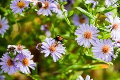 Flores de Purlpe Foto de Stock