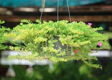 Flores de Pusley no potenciômetro de suspensão Imagens de Stock