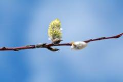 Flores de Pussywillow Imagen de archivo libre de regalías