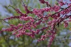 Flores de Redbud Fotografía de archivo