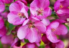 Flores de Redbud en resorte imagen de archivo