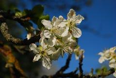 Flores de Reine Claude Plum Fotos de Stock Royalty Free
