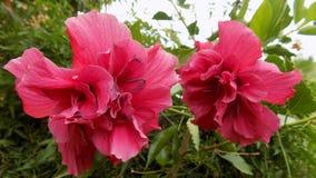 Flores de Retamar pacífico II Fotografia de Stock Royalty Free