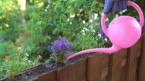 Flores de riego del jardinero en pote al aire libre almacen de metraje de vídeo