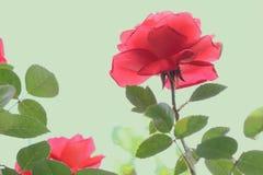 Flores de Rosa imagens de stock