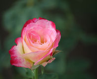 Flores de Rosa Fotos de Stock