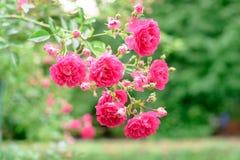 Flores de Rosa arbusto Imagens de Stock Royalty Free