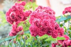 Flores de Rosa arbusto Imagens de Stock