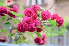 Flores de Rosa arbusto Fotos de Stock