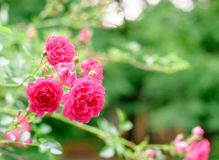 Flores de Rosa arbusto Fotografia de Stock Royalty Free