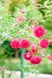 Flores de Rosa arbusto Foto de Stock Royalty Free